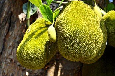 Durian fruta exótica árbol mal olor Tailandia
