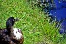Pato negro césped Zaanse Schaans