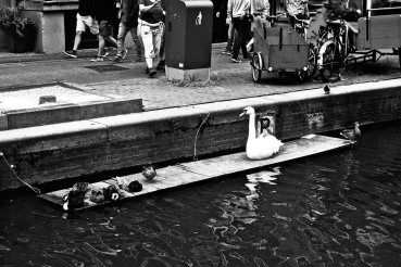 Cisne crías público canal Amsterdam blanco y negro