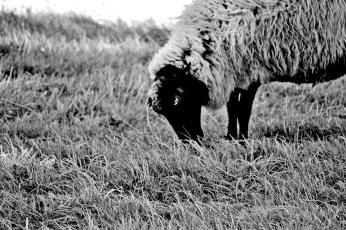 Oveja típica Suecia comiendo hierba isla Grinda blanco y negro