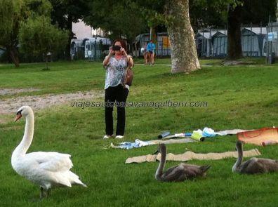 el cisne con sus polluelos, desde el otro lado, en perfecta formación; hay unos cuantos campings en esta zona, todos llegan hasta la misma orilla del lago y tienen acceso directo