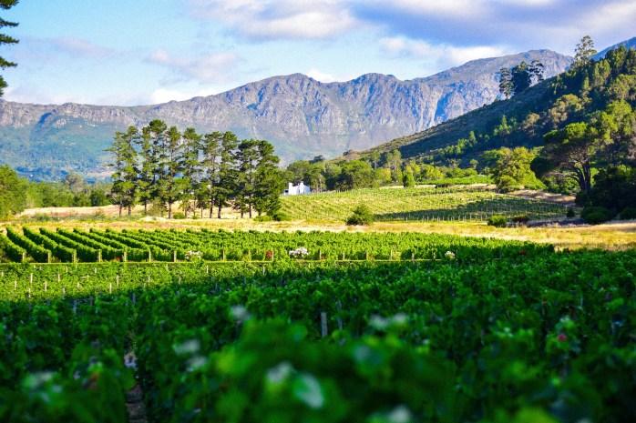 viñedo-sudafrica