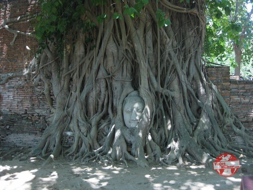 wat Maha That cabeza entre ramas