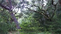 Bosque de robles y madroños