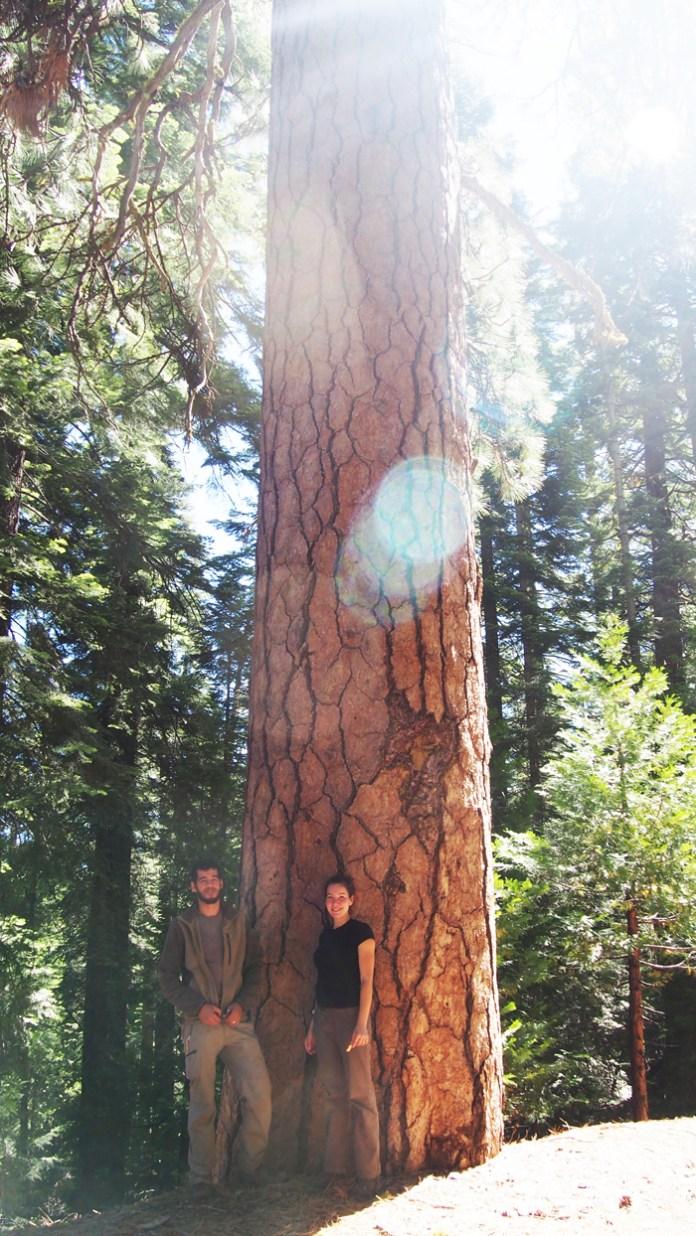 Impresionante ejemplar de Pinus ponderosa