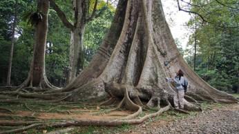 Ejemplar de ceiba en el Jardin Botánico de Bogor.