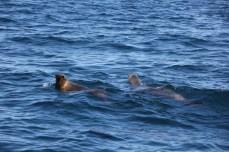 Lobo marino de un pelo (Otaria flavescens) en Golfo Nuevo.
