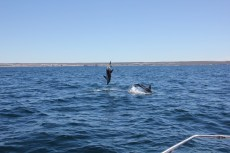 Delfín oscuro (Lagenorhynchus obscurus) saltando en Golfo Nuevo.