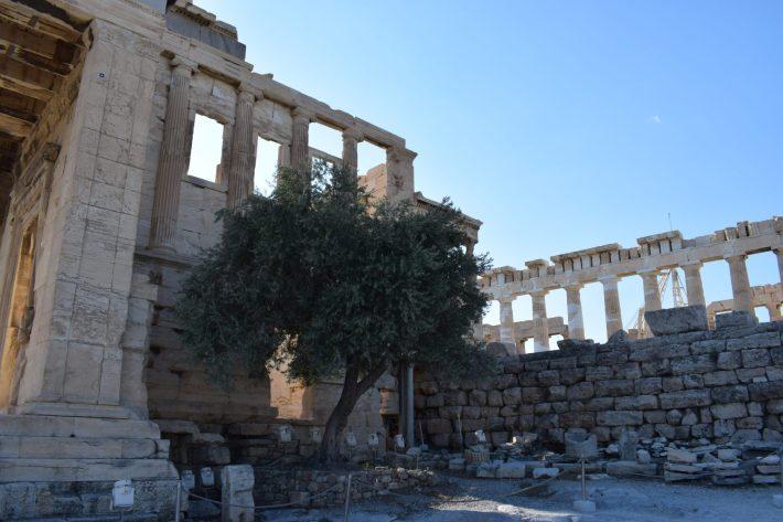 El Olivo que según la mitología Atenea regaló al pueblo, La Acrópolis, Atenas (Grecia)