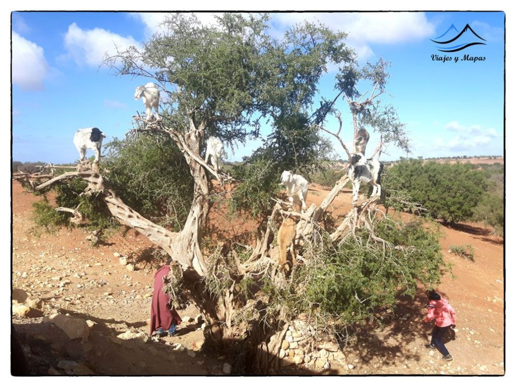 cabras-en-el-arbol_marruecos