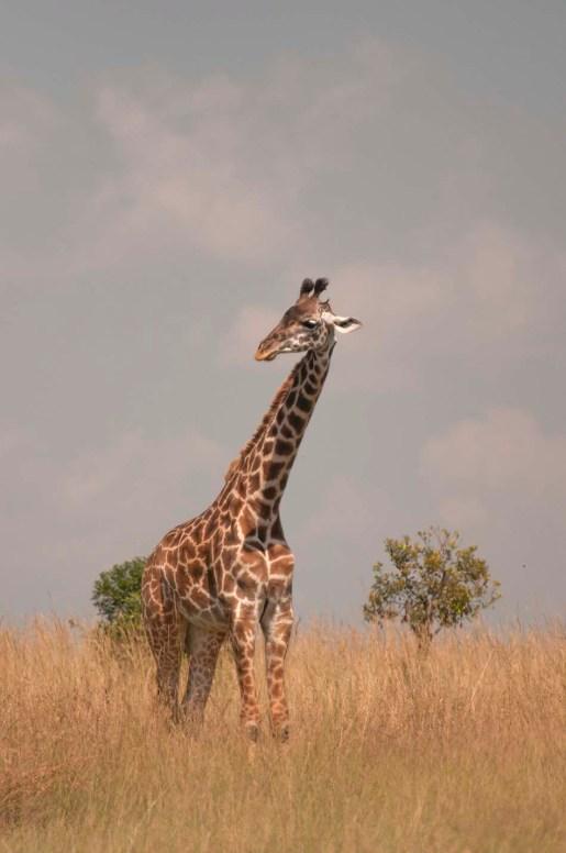 masai-mara-jirafa