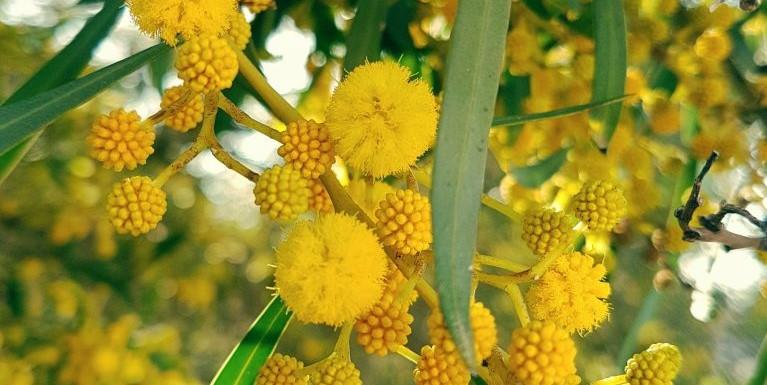 mimosa, algarve, portgual