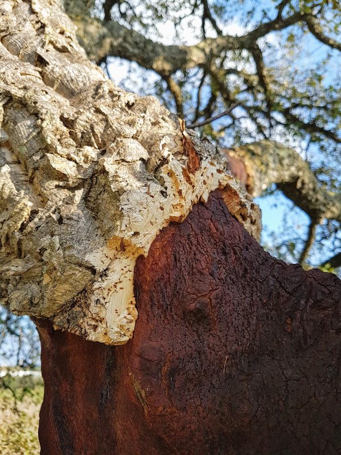 Asukkaana Portugalissa, korkkipuu