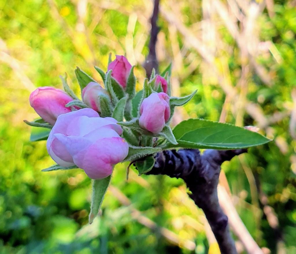 Henkilökohtainen paratiisi, eli diginomadi kutsumusammattina  - 4. 9. OMA TAHTI - omenakukka
