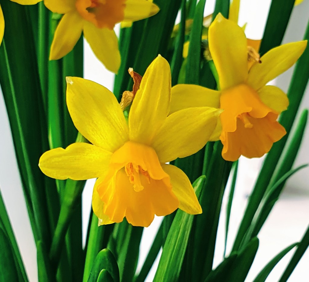 Kevään odotusta - Iloa sisäkukista