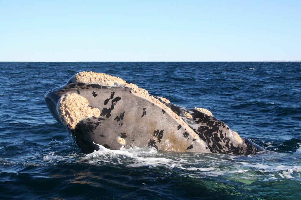 2007-08-06 (balena aixeca)