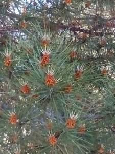 árbol con piñas small