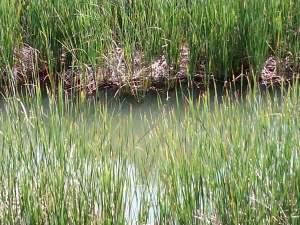 juncos en río