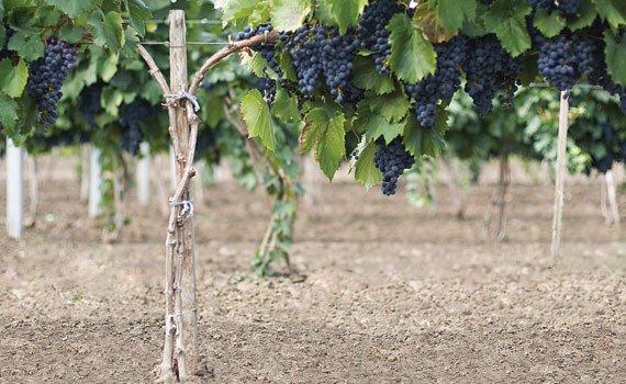 Weingut von Moldawien in September