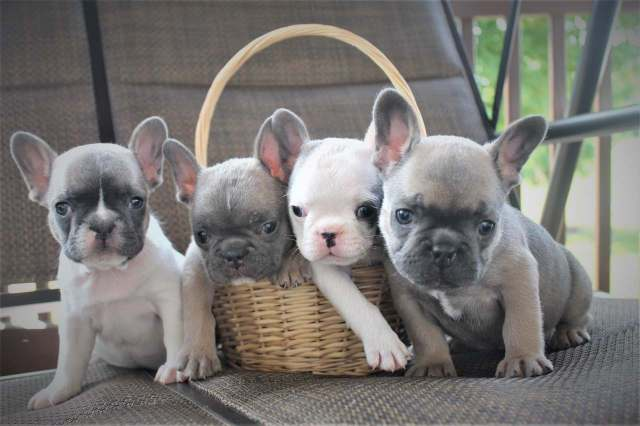 your home for fine quality blue french bulldog puppies in indiana