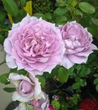 Poseidon rose, also called Novalis.