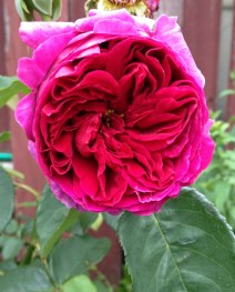Othello rose - one of the first roses I started to grow in my garden in 2015.