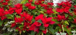 Red Poinsettias, Allan Gardens Conservatory, Christmas show, 2016.