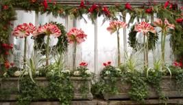 Flowering Amaryllis bulbs, Christmas show, Allan Gardens, 2016.