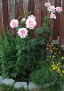 The Memorial Day Rose in our garden in the beginning of July, 2016. There is lavender growing in front of it to the right and a yellow perennial wild flower, which I don't know the name yet and have decided to leave it for now. There is also another wild flower on the left. It usually starts blooming with beautiful blue-purple flowers later in the season.