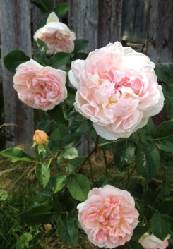 My William Morris rose bred by David Austin, blooms in our garden in 2016. With roses you have to make sure they get at least 6 hours of light, do not over-water them and avoid soggy soil.