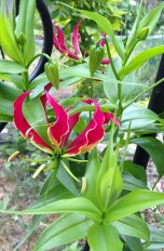 A beautiful tropical Gloriosa lily flower growing in our garden. It is definitely an annual in our growing zone, but if I take its tubers out for the winter and properly store them, I can plant them next year. Some plant are poisonous, like this one, but it is also used for some medicinal purposes. Particularly dangerous are its tubers and when eaten they can be deadly