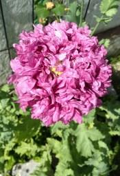Purple Peony Poppy flower blooming in our garden.