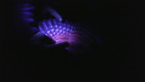 A black light makes certain pigments stand out and can help in determining if feathers are old or new.