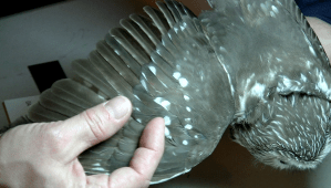 Newer feathers appear darker--they haven't had time to fade.