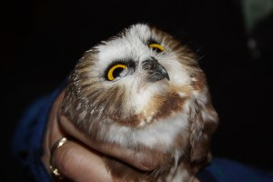 A captive saw-whet looks up at Susan Coe, one of the volunteer banders.