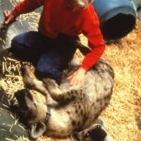 Glickman-Krista w mature female hyenas