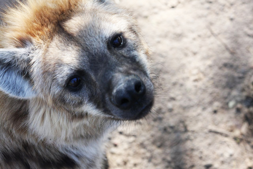 Spotted Hyenas: Gender Bending, Enchanting, Formidable