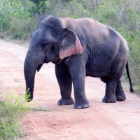 A Dwarf Elephant With Outsized Attitude