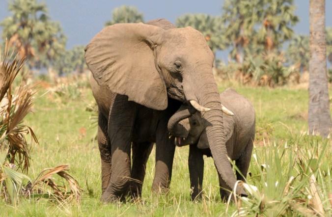elephant and calf-A Plumptre-WCS