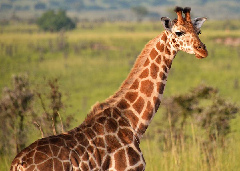 After Dark, Giraffes Carry A Tune