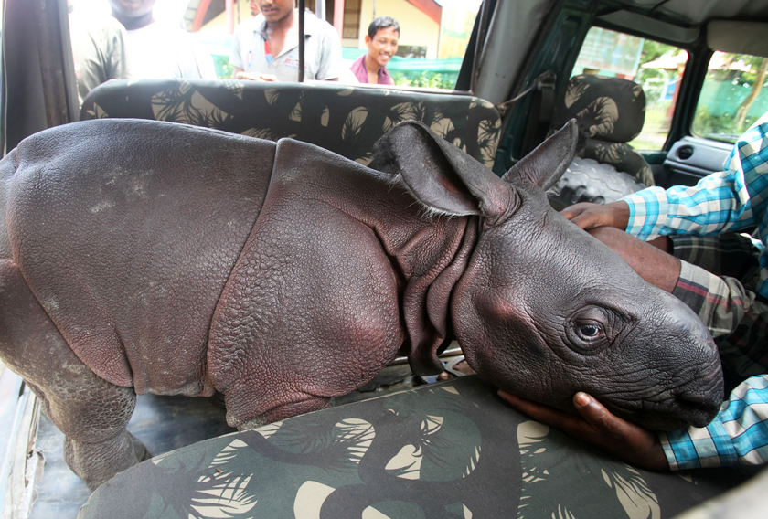 Courage Of A Tiny Orphaned Rhino