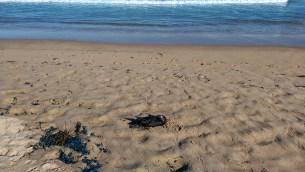 Cronulla Beach: Dead Bird Eaten