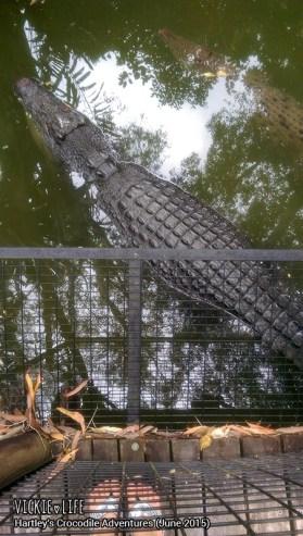 Hartley's Crocodile Adventures, June 2015: Parallel Crocs