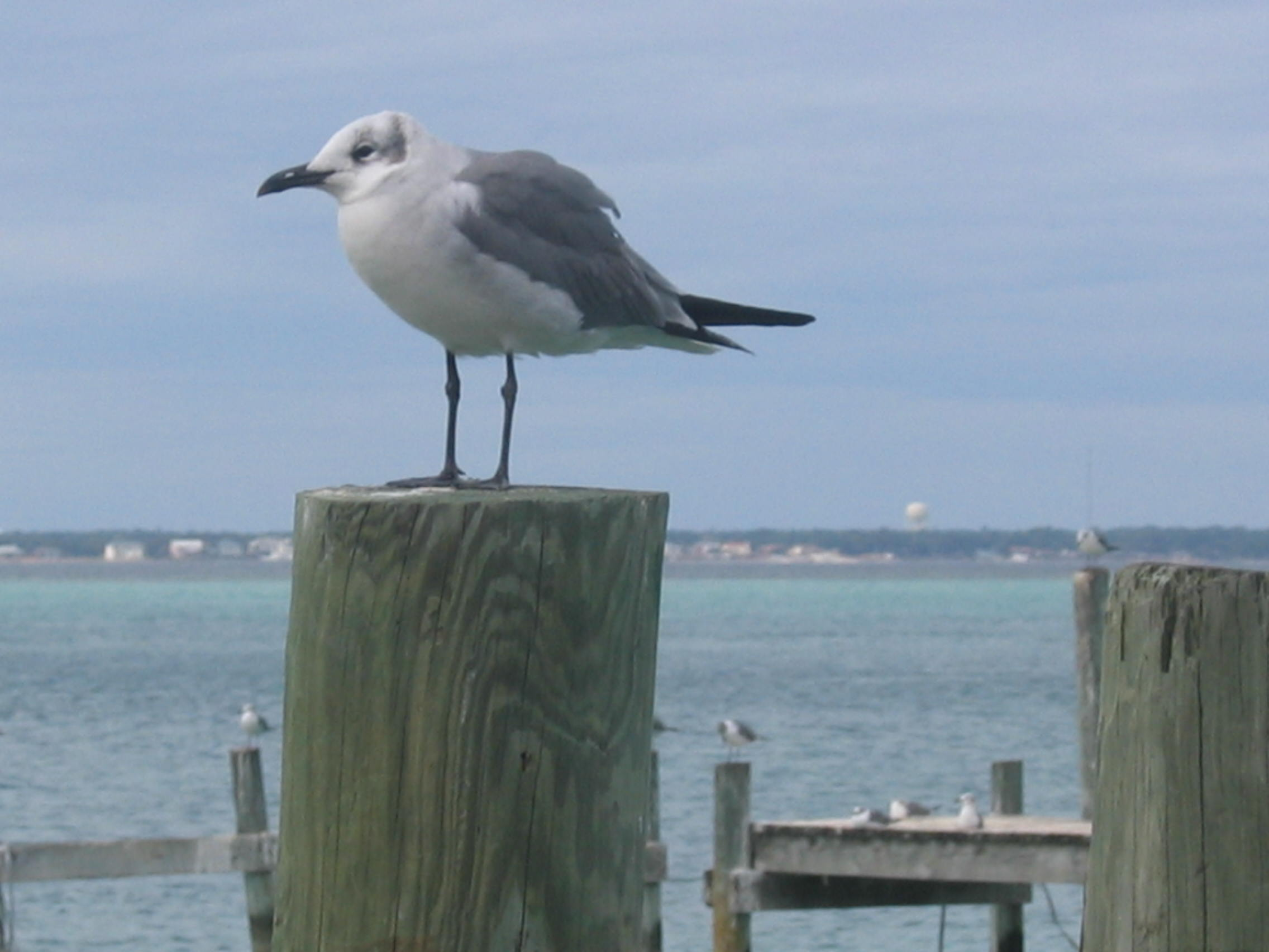 Destin Sea Gull