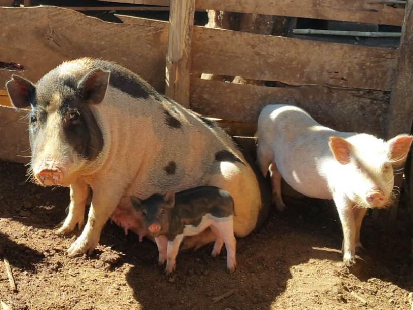 Three little pigs!