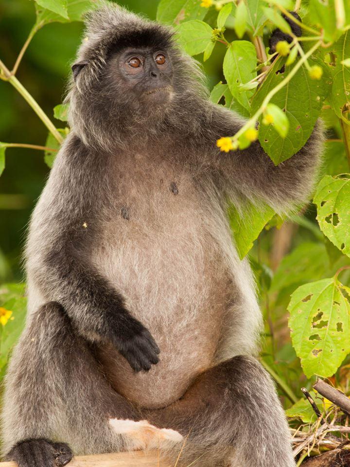 Rare silver leaf monkey