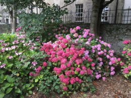All around the main entrance of the Tralee Town park are lots of hydrangea bushes
