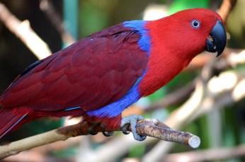 exotic red and blue bird