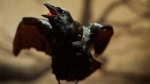 gty_black_crow_jt_130504_wmain