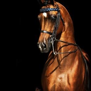 Sale Horses « Victoria Arabians, LLC